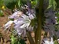 Hydrophyllum capitatum (7939896940).jpg