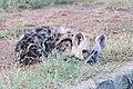 Hyena pup (2246372061).jpg