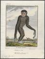 Hylobates albimanus - 1700-1880 - Print - Iconographia Zoologica - Special Collections University of Amsterdam - UBA01 IZ19800101.tif