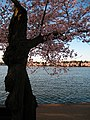 I was smitten by this dark heavy tree trunk compared to the fluffy blossoms. - panoramio.jpg
