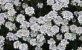 Iberis sempervirens - Kew Gardens.jpg