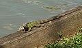 Iguana VII.jpg