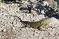 Iguana iguana on Sanibel Island.JPG