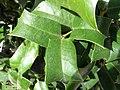 Ilex cornuta-hojas-8.jpg