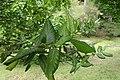 Ilex perado subsp. perado kz01.jpg