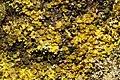 Illosporiopsis christiansenii 57294691.jpg