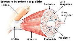 funcion del musculo esqueletico estriado