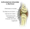 Illu synovial joint-it.png
