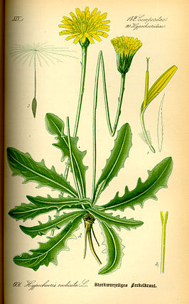 Illustration Hypochoeris radicata0.jpg