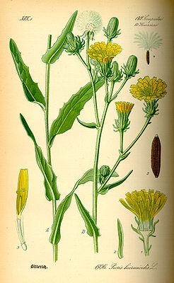 Illustration Picris hieracioides0.jpg