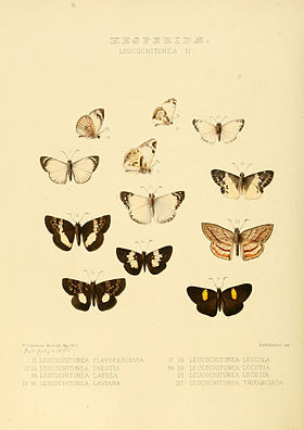 Illustrations of new species of exotic butterflies Leucochitonea II.jpg