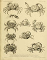 Illustrations of the zoology of H.M. Indian Marine Surveying steamer Investigator (Crustacea. Plate XXXVII) (6720264497).jpg