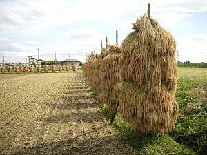 Kurihara, Miyagi - Rice drying after harvest in Kurihara