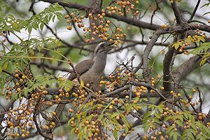 Melia azedarach -  Indian grey hornbill (Ocyceros birostris) eating Melia azedarach fruit at Roorkee in  Haridwar District of Uttarakhand, India.