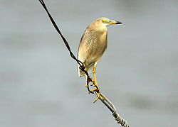 Indian Pond Heron (2).jpg
