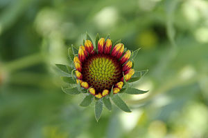 Gaillardia pulchella - Blooming Indian blanket
