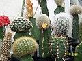 Injertos de cactus sobre Selenicereus.JPG