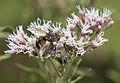 Insect feeding Eupatorium cannabinum 03.jpg