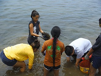 Students from Na Pua No'eau remove invasive algae from Kane'ohe Bay. Programs could be created to remove algae from Caribbean reefs Invasive Algae Removal.JPG