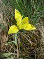 Iris humilis subsp. arenaria sl18.jpg