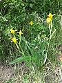 Iris variegata sl54.jpg