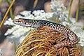 Italian wall lizard (Podarcis siculus siculus).jpg