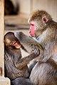 Iwatayama Monkey Park (3811321364).jpg
