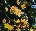 J20161006-0017—Acer macrophyllum—RPBG (30233020426).jpg