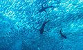 Jack fish and reef sharks.jpg
