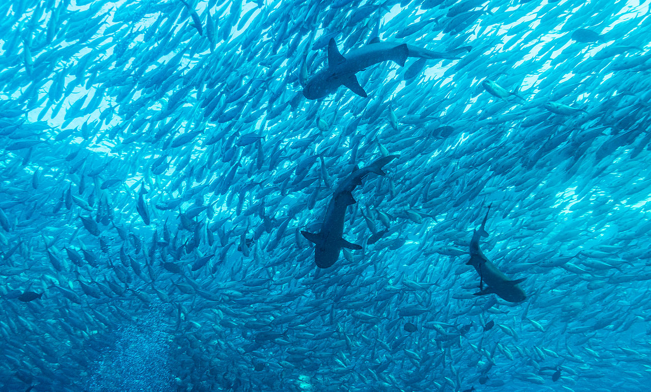 File jack fish and reef wikimedia commons for What is a jack fish