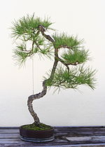 Japanese Black Pine bonsai 135, October 10, 2008.jpg