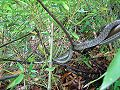 Japanese Rat Snake In Tree.JPG