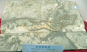 Jeholornis holotype.jpg