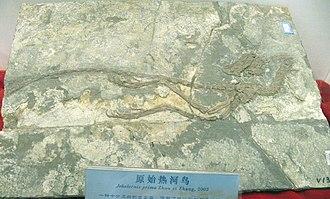 Jeholornis - Fossil specimen of a juvenile J. prima (IVPP V13550)