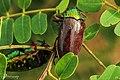 Jewel Beetle 04.jpg