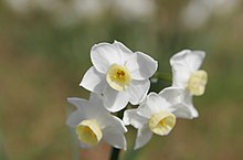 Jonquil flowers at f5.jpg