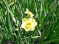 Jonquilla daffodil - narcissus var stratosphere 1.jpg