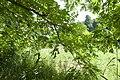Juglans mandshurica var. sachalinensis 04.jpg