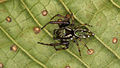 Jumping spider from Ecuador (14984094798).jpg