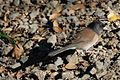 Junco hyemalis-Oreganus group-1.jpg