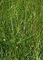 Juncus filiformis 2.jpg