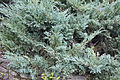 Juniperus cultivar გართხმული ღვია.jpg