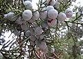 Juniperus deppeana cones StrawberryAZ.jpg