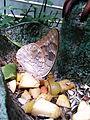 Junonia atlites, Bornholms Sommerfuglepark 5.jpg