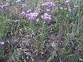 Jurinea multiflora (habitus).jpg