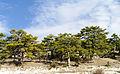 Kızılçam - Pinus brutia.jpg
