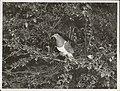 Kapiti Island - New Zealand Native Pigeon (2).jpg