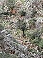 Katholikon - Schlucht Ölbäume.jpg