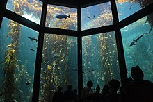 Aquarium visitors gaze up through large windows into the 28-foot-tall Kelp Forest exhibit, containing giant kelp and a few schools of fishes