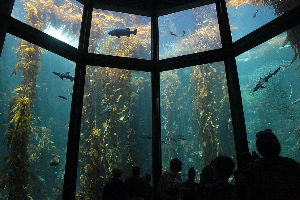 Kelp Forest exhibit full main viewing window at Monterey Bay Aquarium